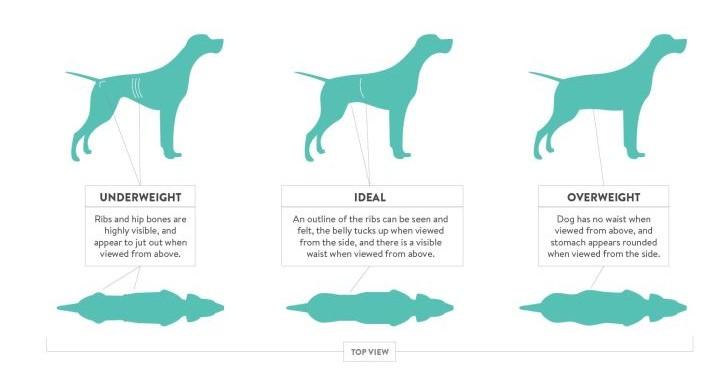 Σωστή μάζα σκύλου