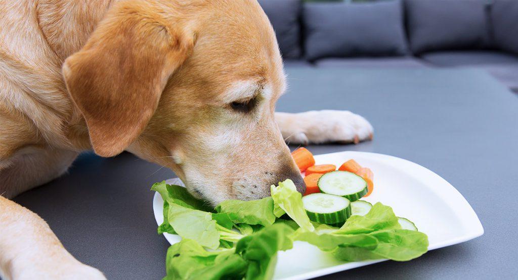 Υπέρβαρος σκύλος Σαλάτα